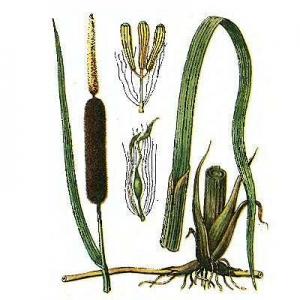 Рогі́з вузьколи́стий (Typha angustifolia L.)