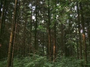 Самарський ліс. Сосновий бір