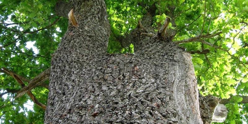 Дуб-патріарх (Юзефинський дуб)