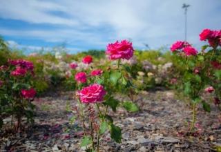 Парк Долина троянд в Черкасах