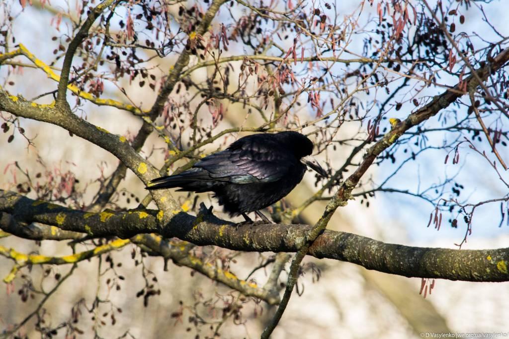 Тернопільська ворона