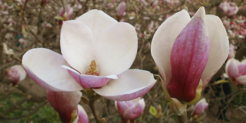 [Фотозвіт] Квітучі магнолії в Києві